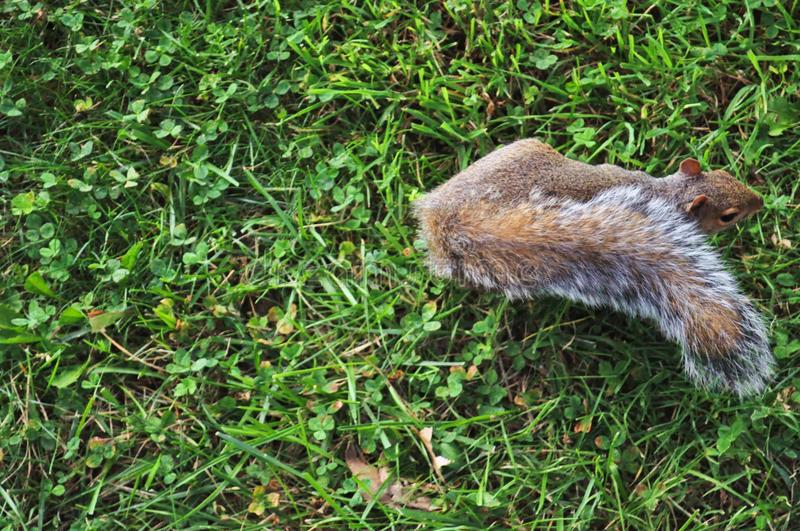 Green grasses background and squirrel. Green grasses background and a fluffy walking squirrel on a middle right side of a photograph royalty free stock photography