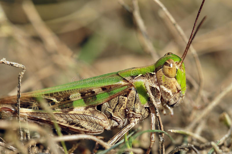 Download Green grasshopper stock photo. Image of ecology, leaf - 10628294