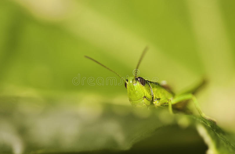 Green Grasshopper. A green grasshopper camouflaged in the rich vegetation of a mountain meadow in the Spanish Pirineos royalty free stock image