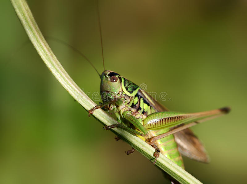 Green grasshopper. Sitting on a blade of grass royalty free stock photos