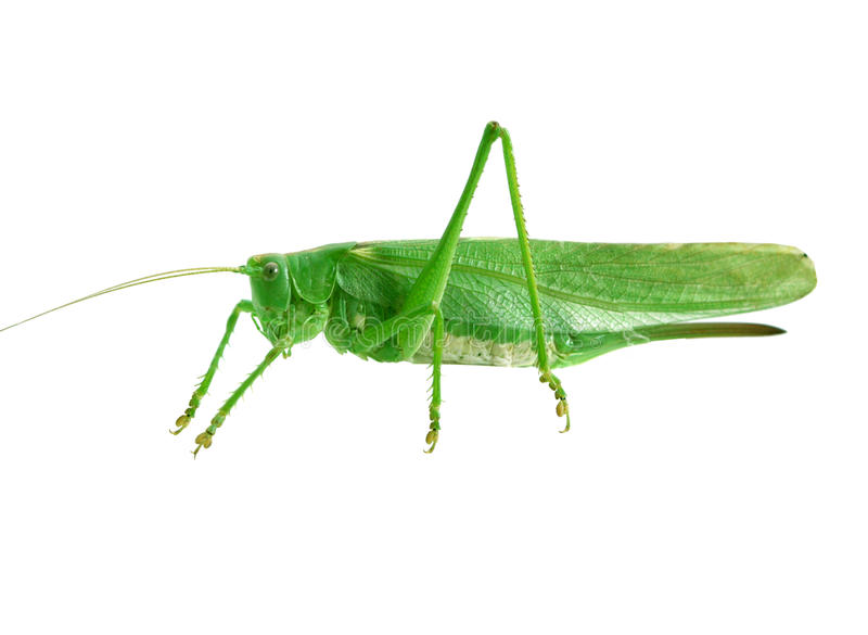 Green grasshopper. Isolated on white background stock images