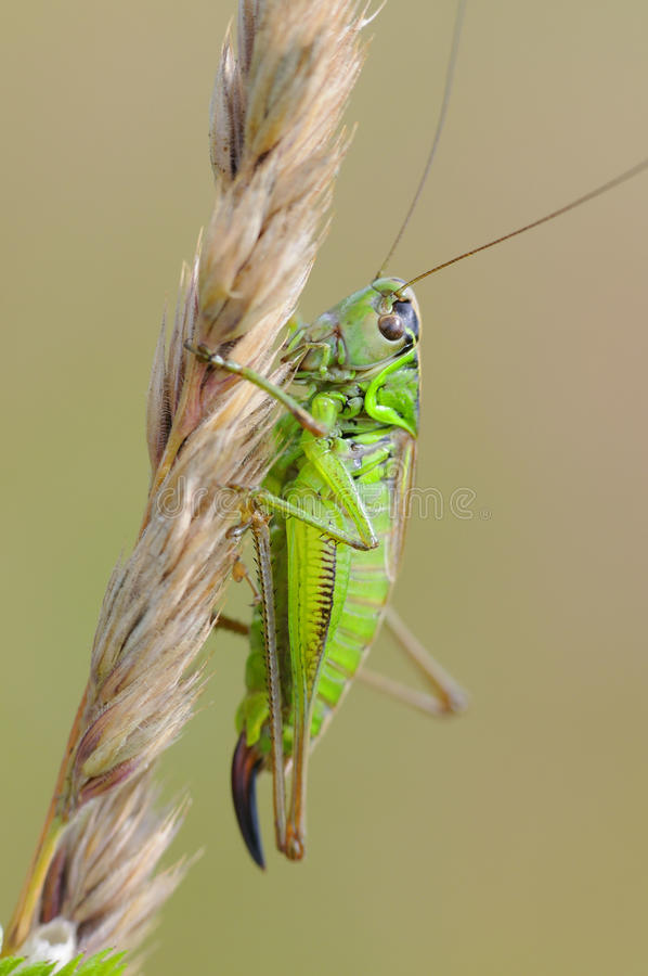 Green grasshopper. ( Tettigonia viridissima ) on a meadow stock photos