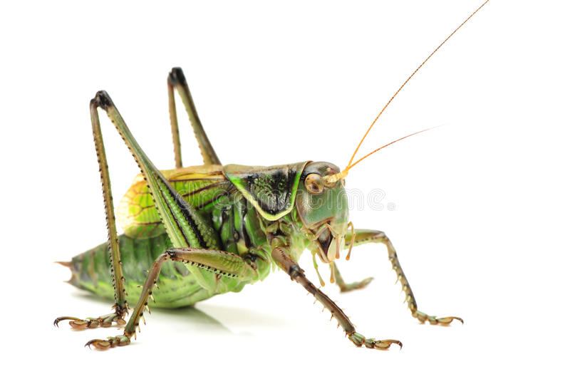 Green grasshopper. On white background stock photo