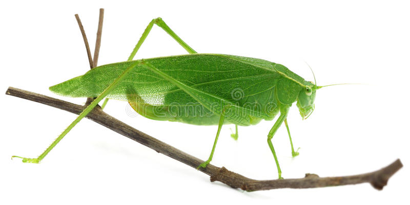 Green grasshopper. On a twig over white background stock images