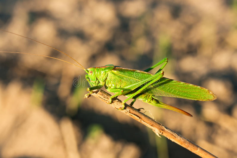 Green grasshopper. On a grass royalty free stock images