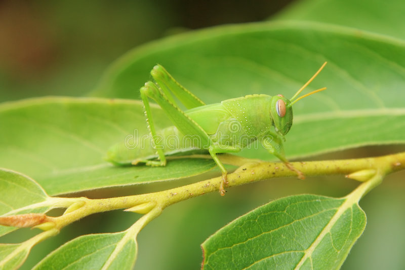 Green grasshopper. Disguising on a green leaf stock photos