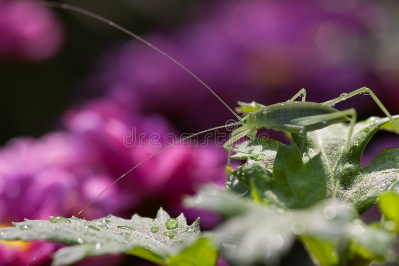 Green grasshopper. With long antennae perched on a leaf royalty free stock photo