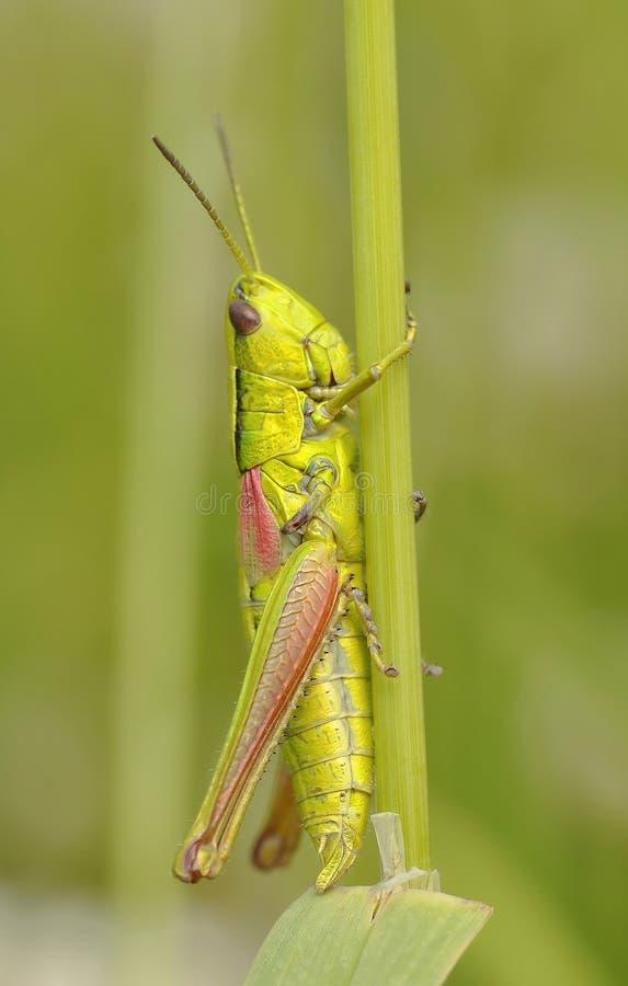 Green Grasshopper Free Public Domain Cc0 Image
