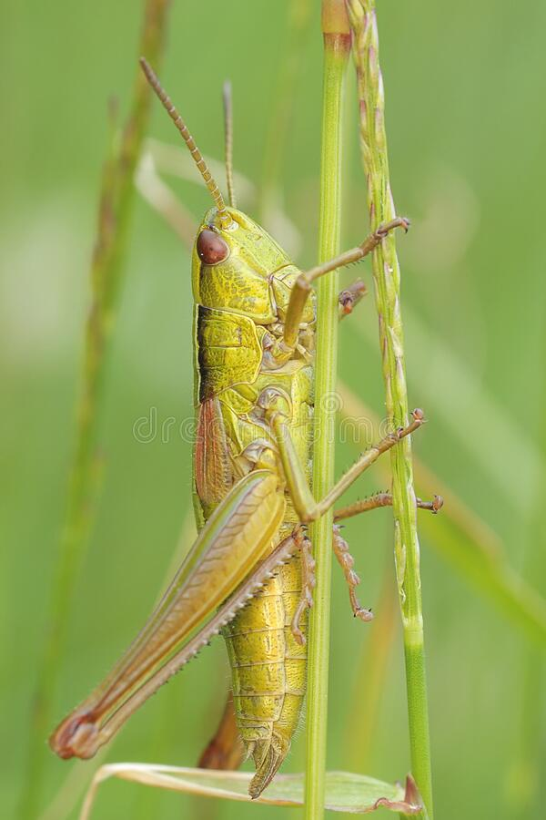 Download Green Grasshopper stock photo. Image of insect, stock - 83012808