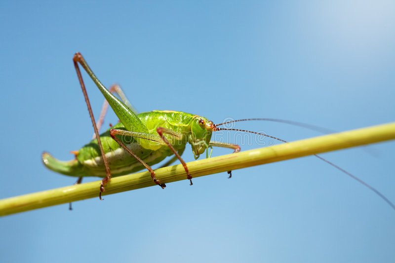 Green grasshopper. On a stalk of grass royalty free stock image