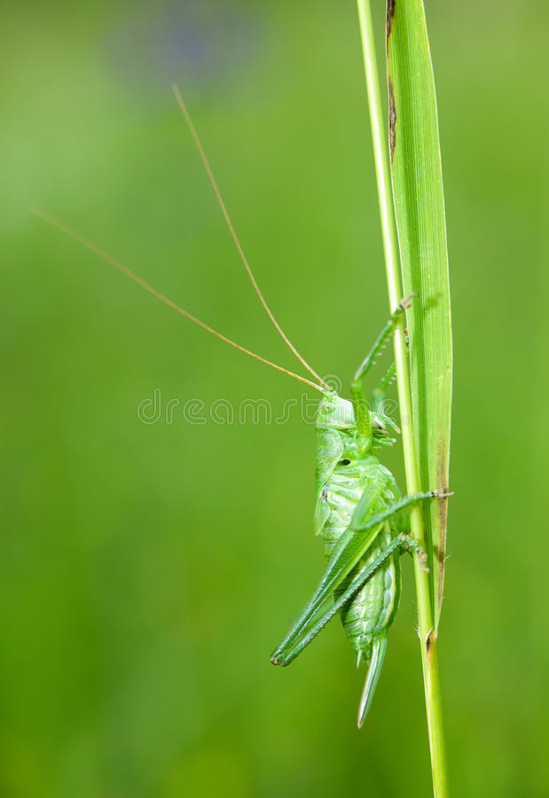 Green grasshopper. Larva standing on a grass sstem royalty free stock photo