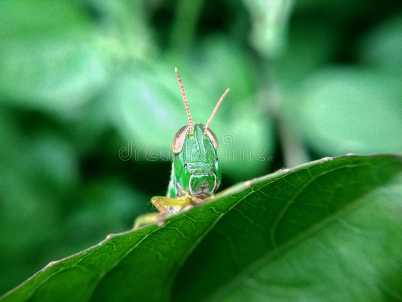 Green Grasshopper. The green grasshopper on the green background royalty free stock photos