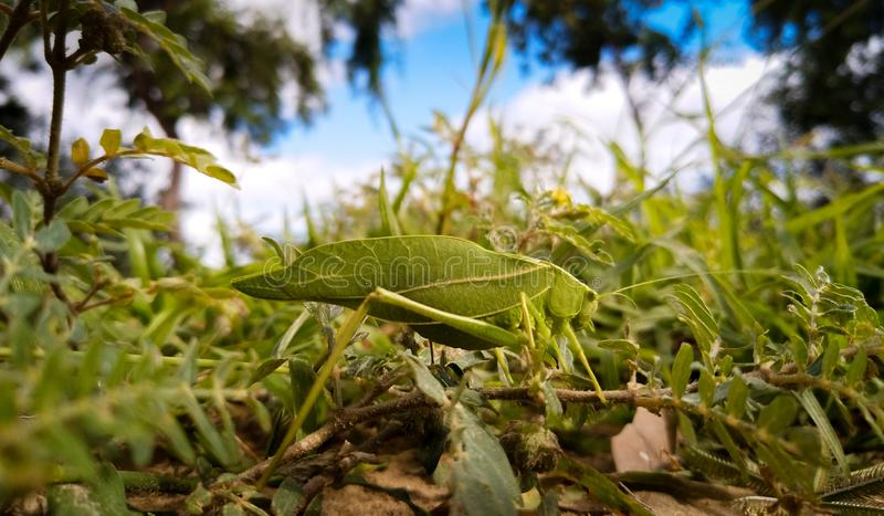 Green Grasshopper with camouflage stock photo