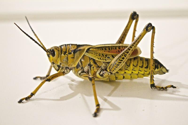 Green Grasshopper Close-up Photo Free Public Domain Cc0 Image
