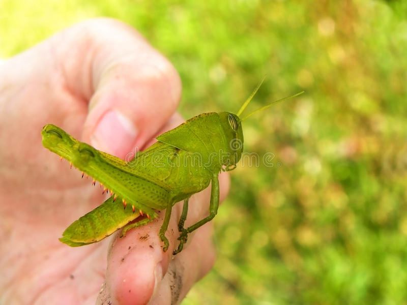 Green Grasshopper 1. A close-up view of a large green Grasshopper on a child's hand royalty free stock images