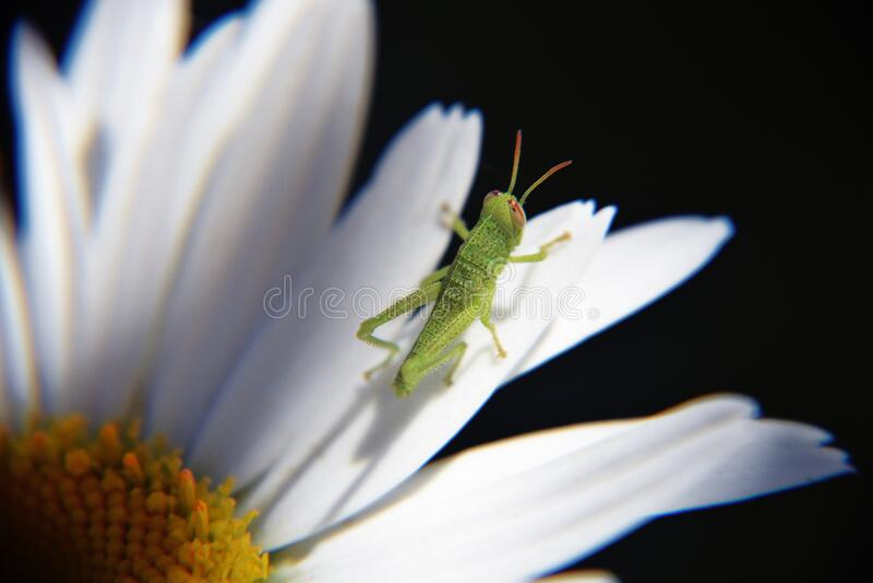 Green Grasshopper On Daisy Flower Free Public Domain Cc0 Image