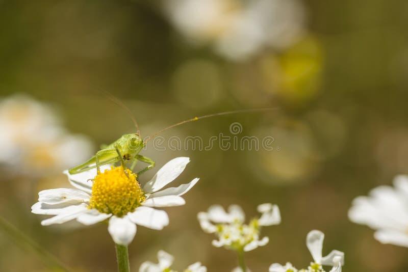Green grasshopper on daisy flower. Under midday sun royalty free stock photo