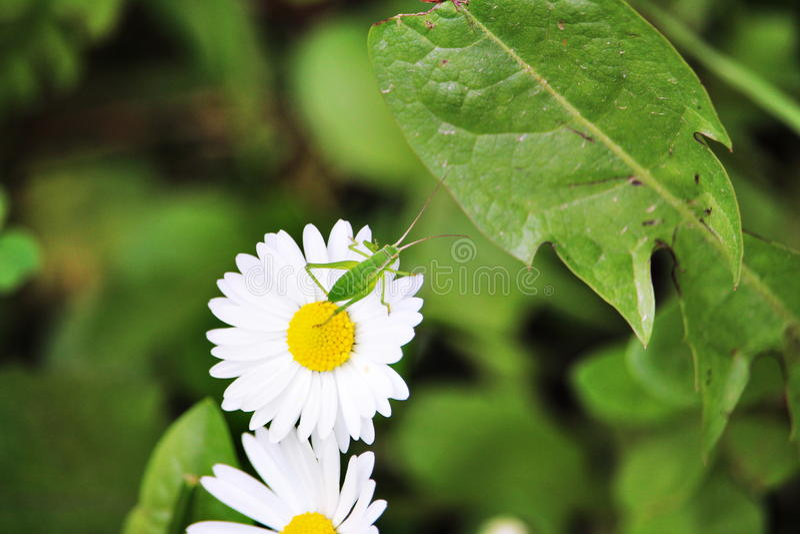 Green grasshopper on daisy. Green grasshopper standing on daisy stock image
