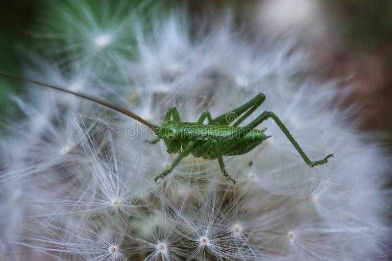 Green grasshopper. On a dandelion, nature, outdoors, fragility, seeds, plant, macro, wildlife, insect, meadow royalty free stock photos