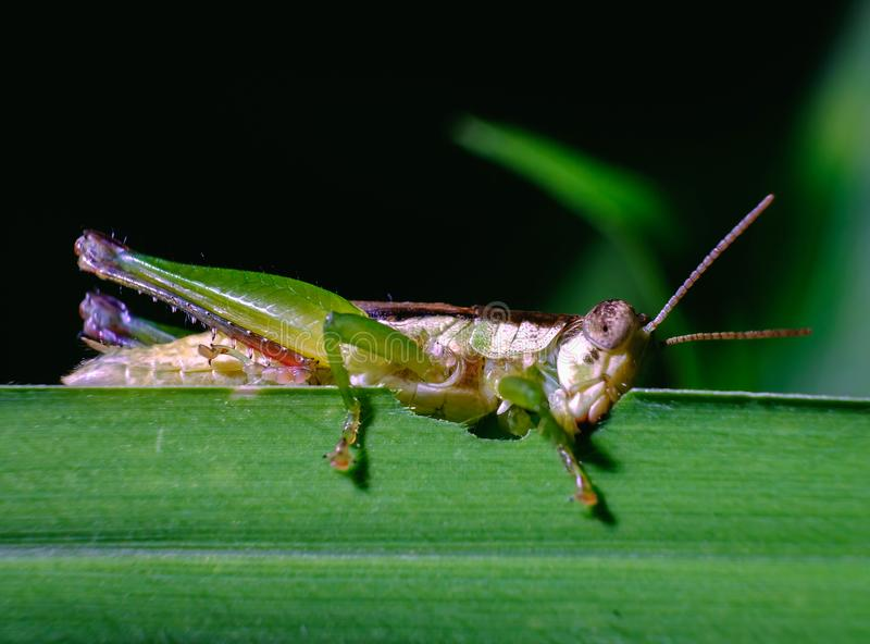 Green grasshopper is eating leaves in the garden. Green grasshopper is eating leaves in the garden stock image