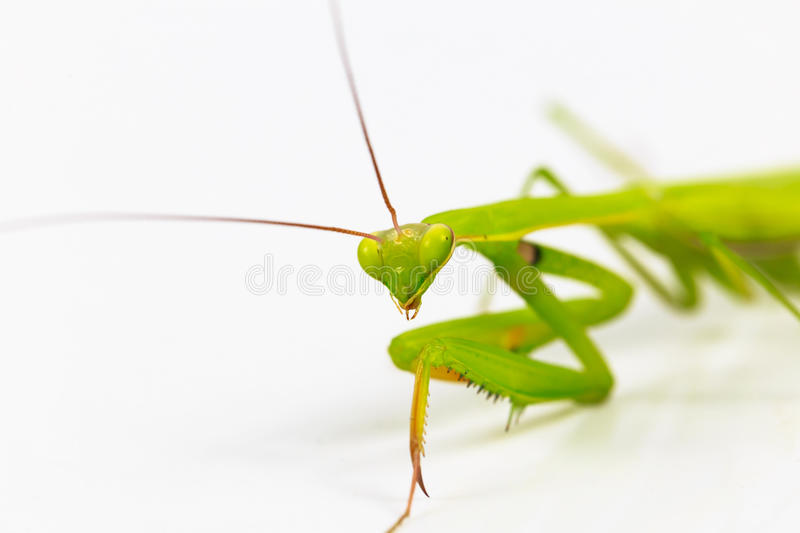 Green grasshopper, face fronted focus, on white background. royalty free stock image