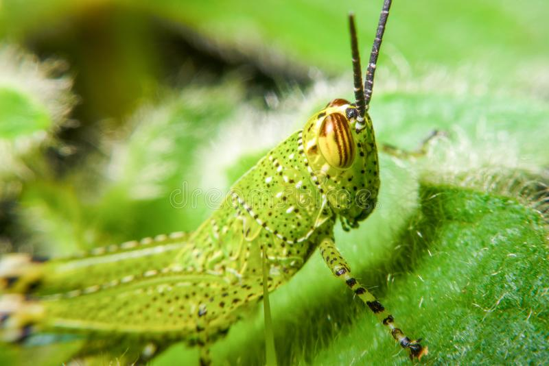 Green grasshopper on grass cane. On green blurry background, macro photography close up grasshopper royalty free stock photos