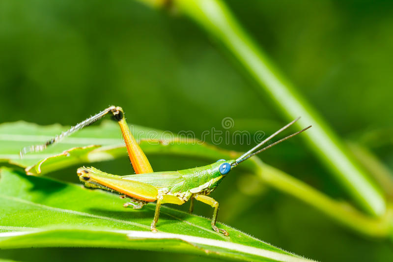 Green grasshopper on grass leaf. Close up stock image