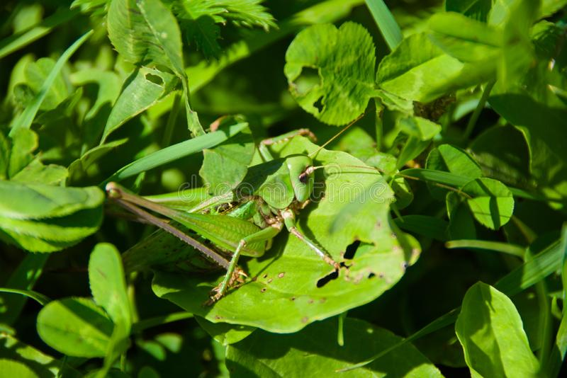 Green grasshopper on green grass. Wonders of disguise. Green grasshopper sitting on the green grass. You can see it only by looking closely stock images