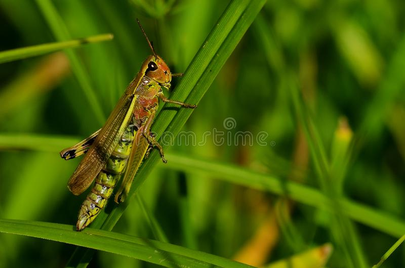 Green grasshopper. Rests in the last beams of sunlight royalty free stock photo