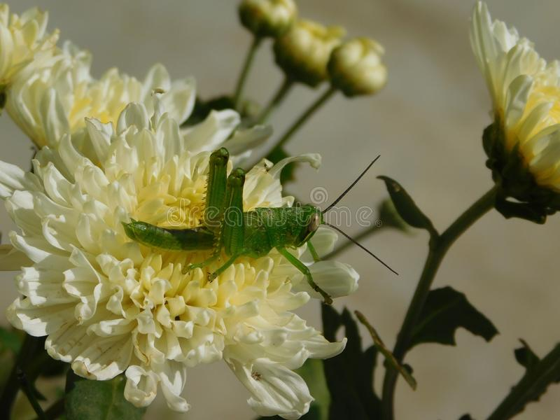 Green grasshopper. A green grasshopper on white flower stock photography