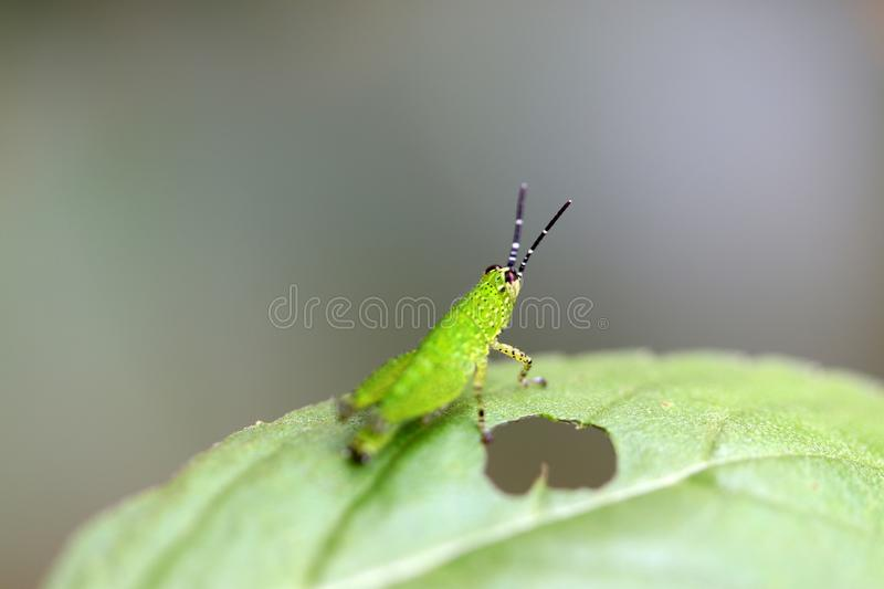 Green grasshopper on green leaf. It is a plant-eating insect with long hind legs that are used for jumping and for producing a chirping sound stock photos