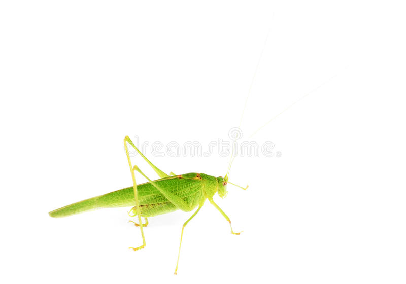Green grasshopper isolated on white royalty free stock photography