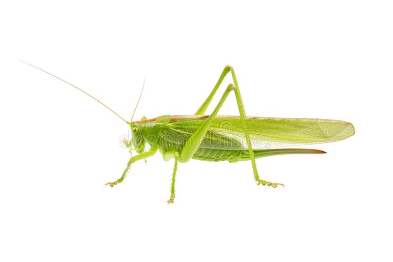 Green grasshopper isolated on a white. Background royalty free stock photography