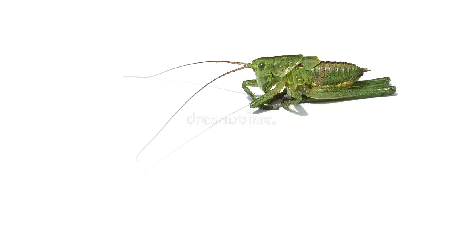 Green grasshopper isolated on white background stock photography
