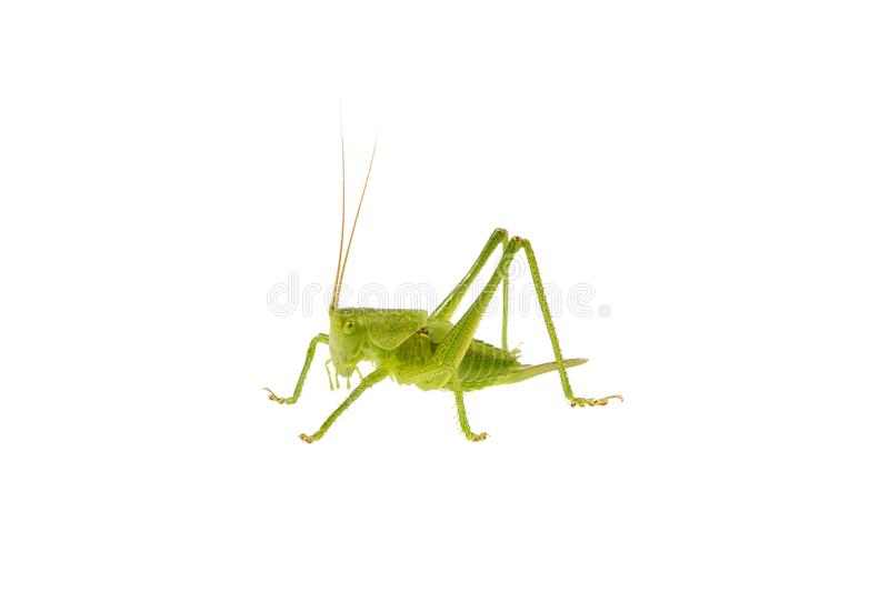 Green grasshopper on a white background. Green grasshopper isolated on a white background stock image