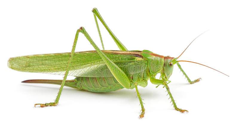 Green grasshopper isolated on white. Background. Side view, macro royalty free stock photos