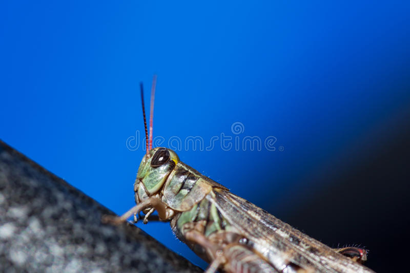 Green Grasshopper. A green grasshopper with large black eyes sitting on a metal surface in the sunshine with a blue background royalty free stock image