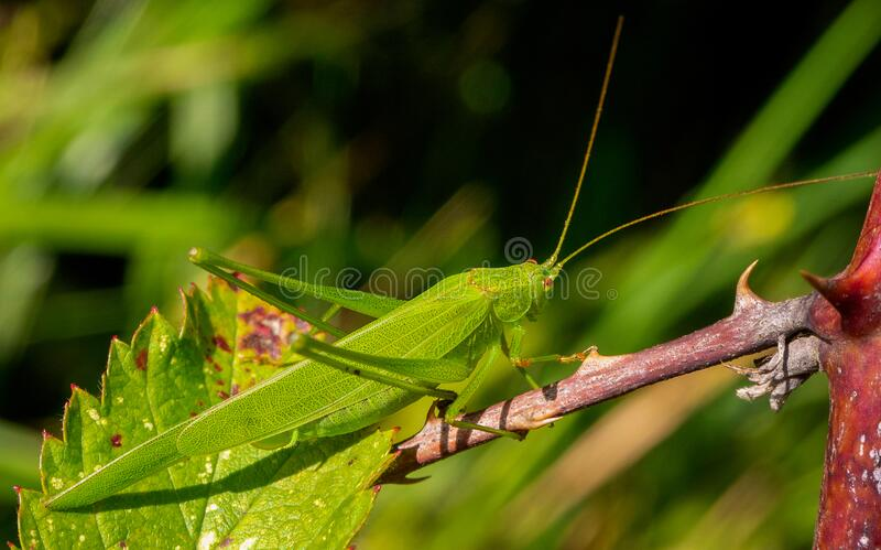 Green grasshopper on a green leaf. Photo of a small green grasshopper on a leaf, a macro theme photo with a natural theme with a blur background. A green stock images