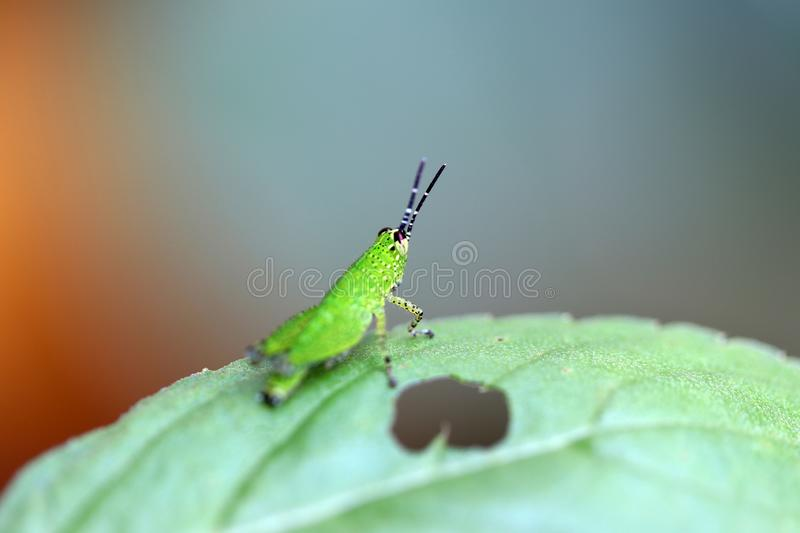 Green grasshopper on green leaf. It is a plant-eating insect with long hind legs that are used for jumping and for producing a chirping sound royalty free stock images