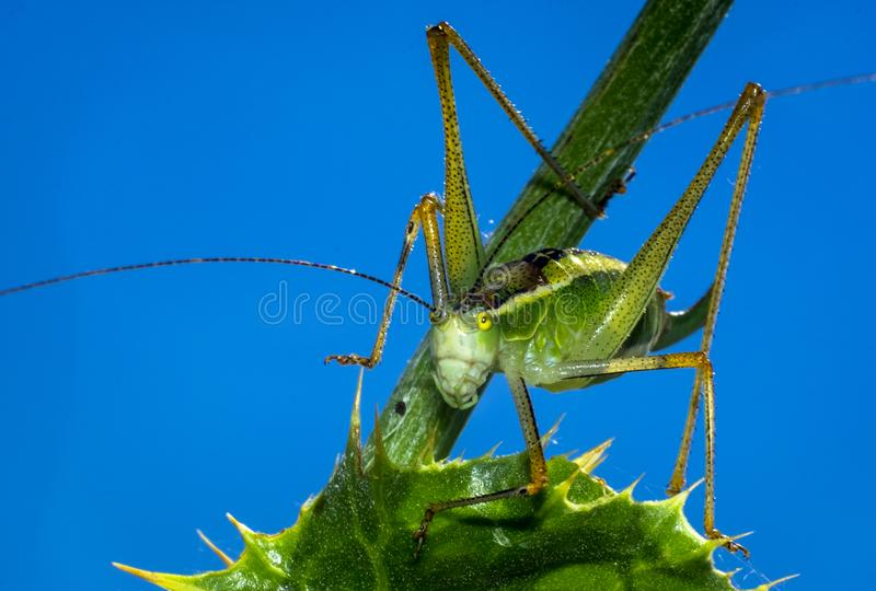 Green Grasshopper on Green Leaf Plant. Slant-faced grasshopper and katydid are voracious leaf eaters that make big irregular holes before they consume the royalty free stock photography