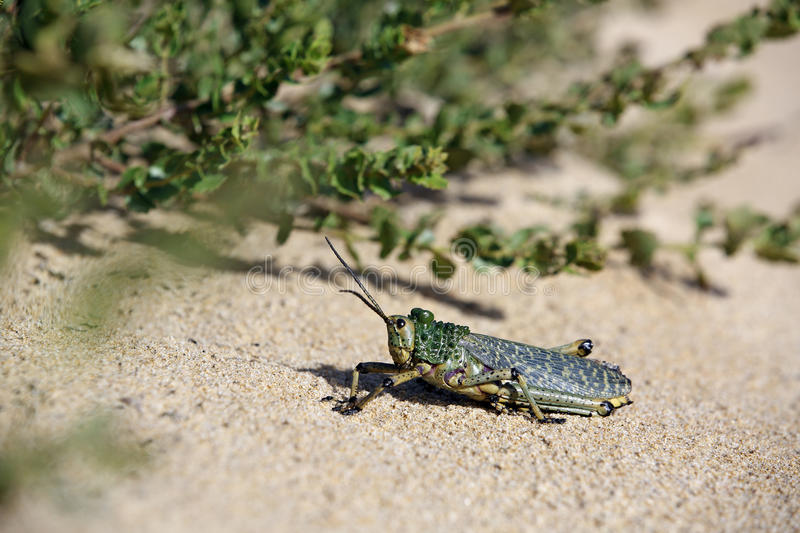 Green grasshopper locust. Sunbathing on sand royalty free stock photos