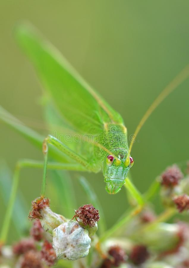 Green Grasshopper Macro Photography Free Public Domain Cc0 Image