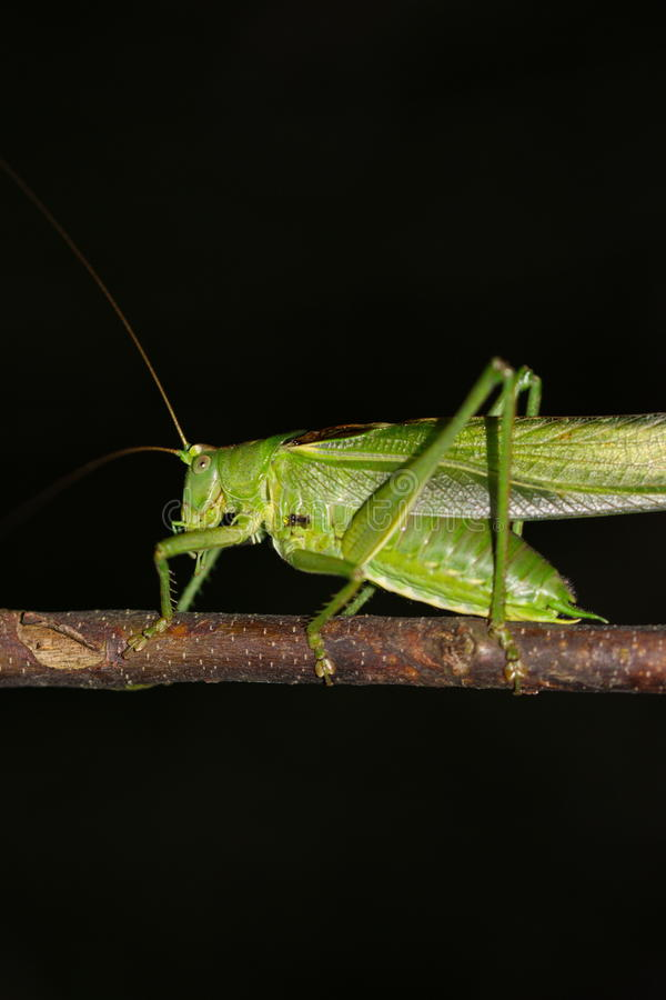Green grasshopper in nature macro royalty free stock photography