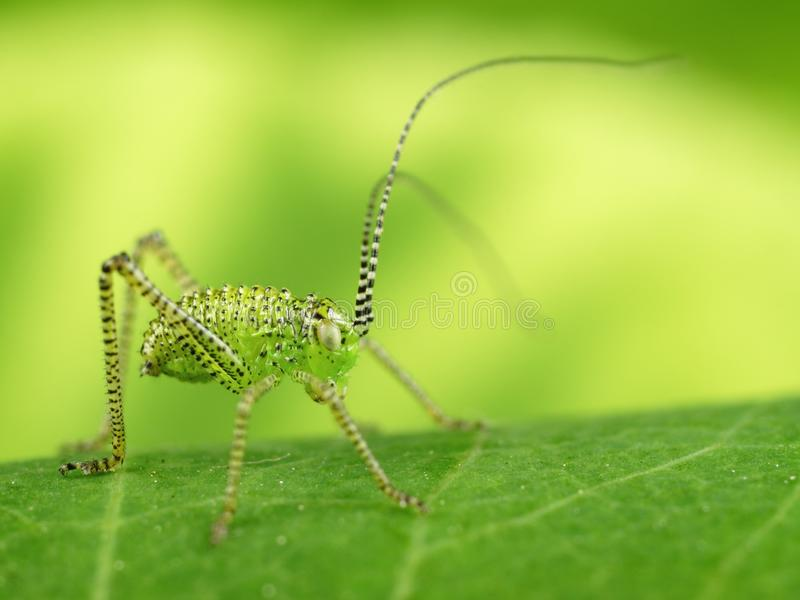 Green grasshopper. With nice blurred background royalty free stock photography