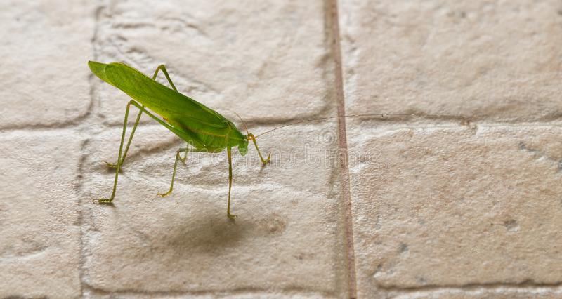 Green grasshopper. One Green grasshopper on the floor stock image