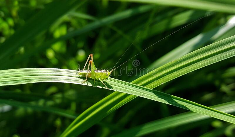 Green Grasshopper Perching on the Green Leaf Plant stock photography