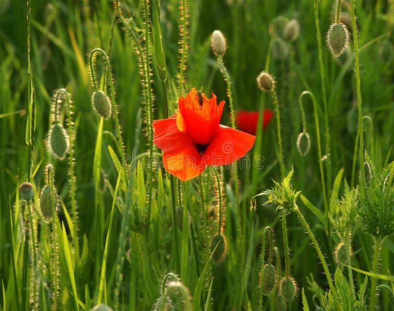 Download Green Grasshopper On Poppy Flower Stock Photo - Image: 28919748