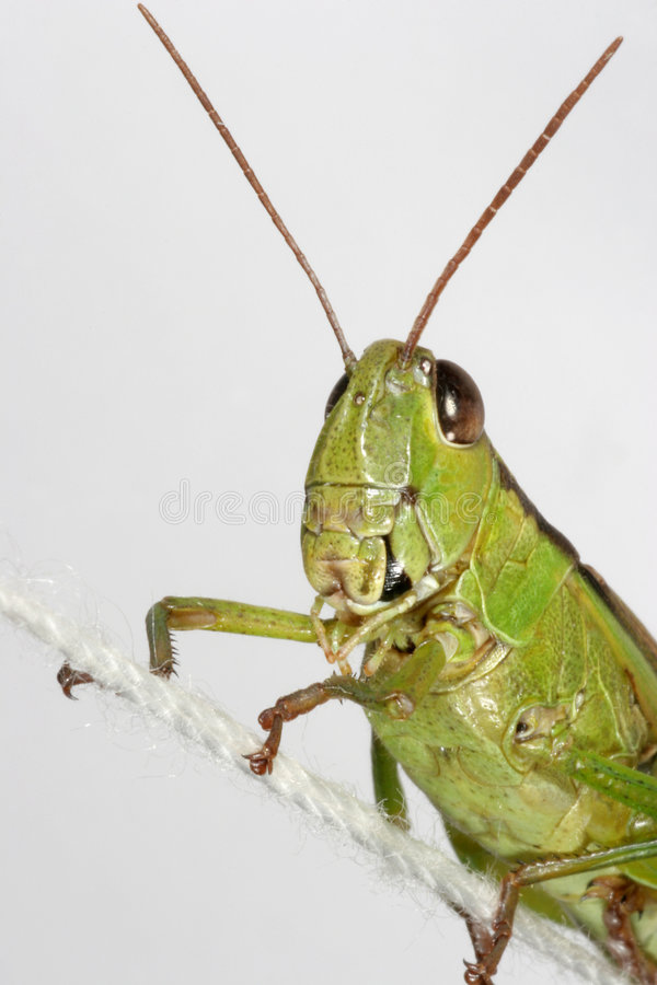 Free Green Grasshopper Portrait Stock Photos - 1802633