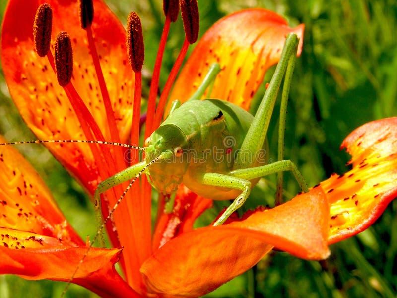 Green Grasshopper on Red 5 Petaled Flower stock photo