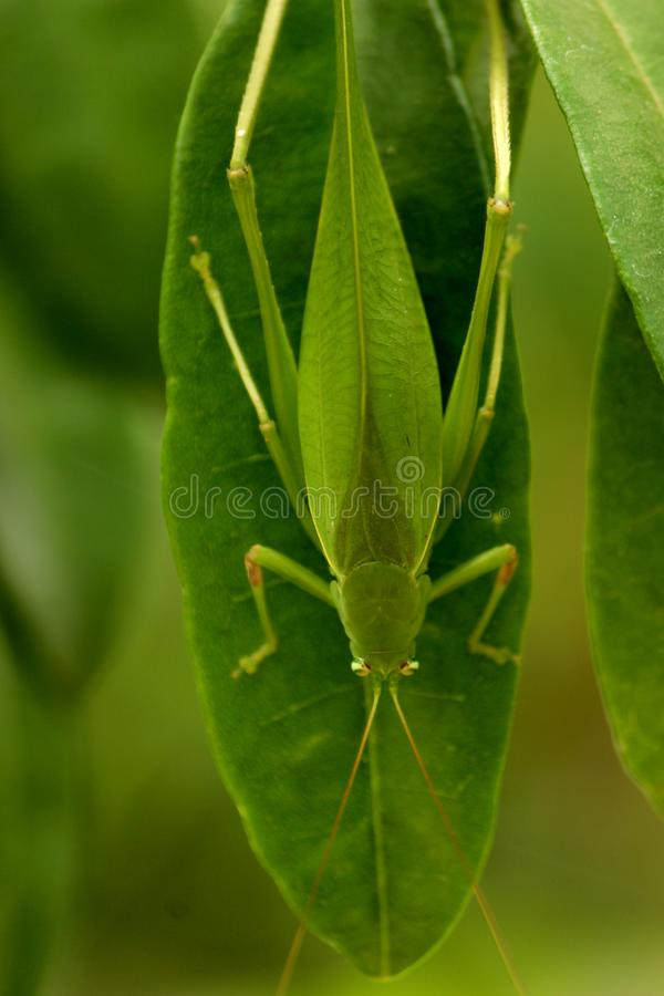 Green Grasshopper resting on Santalum album. Leaf at Early Morning royalty free stock photography